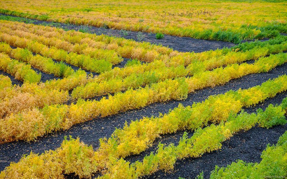 Cultivo de lentejas